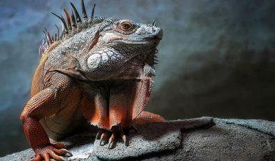 İguanalar ne kadar sürede renk değiştirebilir ? Detaylar burada…